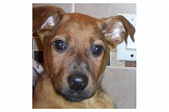 Shepherd (Unknown Type) Mix Puppy for adoption in Pompton Lakes, New Jersey - Wilma