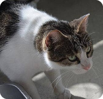 Domestic Shorthair Cat for adoption in New Iberia, Louisiana - Styx
