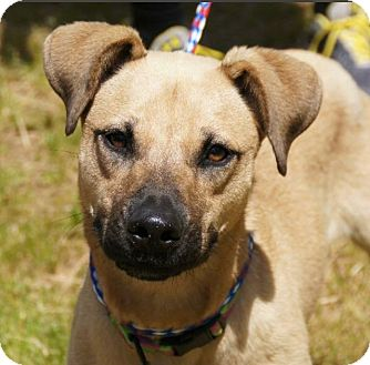 Anatolian Shepherd/Hound (Unknown Type) Mix Puppy for adoption in Buffalo, New York - Annie