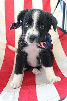Border Collie/Labrador Retriever Mix Puppy for adoption in Macon, Georgia - Eeny