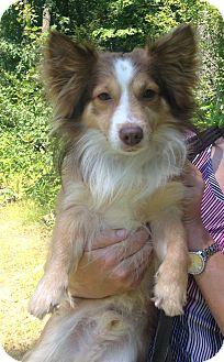 Corgi Mix Dog for adoption in Bloomfield, Connecticut - Barrow