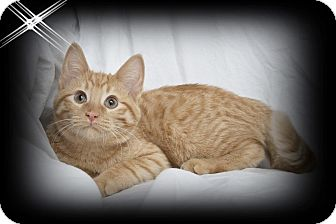 Domestic Shorthair Kitten for adoption in Mt. Prospect, Illinois - Yoda