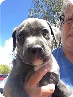 Labrador Retriever/Pit Bull Terrier Mix Puppy for adoption in Cave Creek, Arizona - Joker