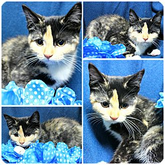 Calico Kitten for adoption in Forked River, New Jersey - Starlet