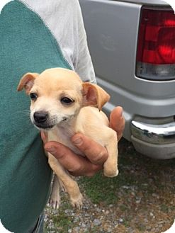 Chihuahua Mix Puppy for adoption in Powder Springs, Georgia - Allie