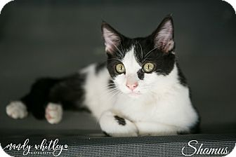Domestic Shorthair Cat for adoption in Columbia, Tennessee - Shamus