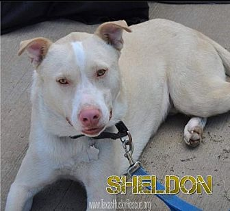 Husky/Pit Bull Terrier Mix Dog for adoption in North Richland Hills, Texas - Sheldon