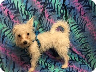 Maltese/Terrier (Unknown Type, Small) Mix Dog for adoption in Elk Grove, California - CRYSTAL