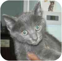 Domestic Shorthair Kitten for adoption in West Warwick, Rhode Island - Derek