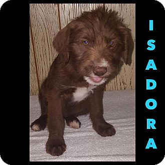 Labradoodle Mix Puppy for adoption in Oxford, Connecticut - Isadora