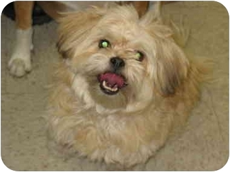 Lhasa Apso/Poodle (Miniature) Mix Dog for adoption in South Lake Tahoe, California - Louie