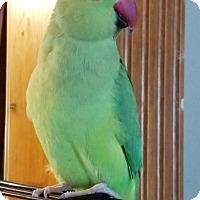Adopt A Pet :: Tweety - St. Louis, MO