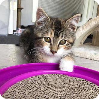 Domestic Shorthair Kitten for adoption in Naugatuck, Connecticut - Clarise