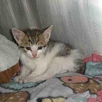 Domestic Mediumhair Kitten for adoption in Austin, Texas - *SAILOR
