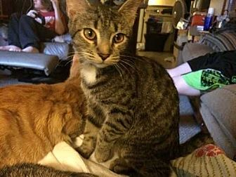 Domestic Shorthair Cat for adoption in Youngsville, North Carolina - Munchie