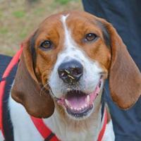 Hound (Unknown Type) Mix Dog for adoption in Annapolis, Maryland - Bruno
