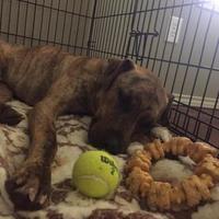 Plott Hound Mix Dog for adoption in Tulsa, Oklahoma - Wilson