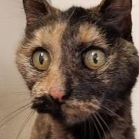 Domestic Shorthair/Domestic Shorthair Mix Cat for adoption in Prineville, Oregon - Kisa
