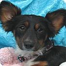 Adopt A Pet :: Pixie Phoebe