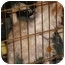 Photo 4 - Chinese Crested/Silky Terrier Mix Dog for adoption in Lakewood, Colorado - Lily