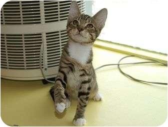Domestic Shorthair Kitten for adoption in Englewood, Florida - Rebel