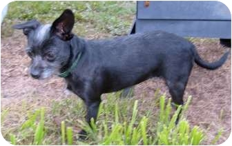 Wirehaired Fox Terrier/Chihuahua Mix Dog for adoption in Wimberley, Texas - Wendi