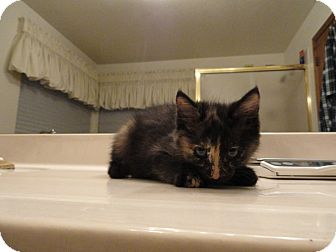 Domestic Shorthair Kitten for adoption in Phoenix, Arizona - KAY
