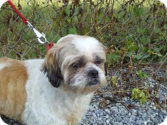 Shih Tzu/Lhasa Apso Mix Dog for adoption in Plainfield, Connecticut - Coconut