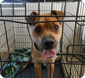Boxer/Whippet Mix Dog for adoption in Chandler, Arizona - Destiny