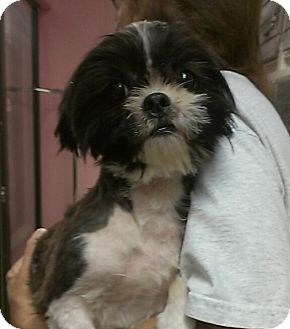 Shih Tzu Dog for adoption in St. Petersburg, Florida - Ashley