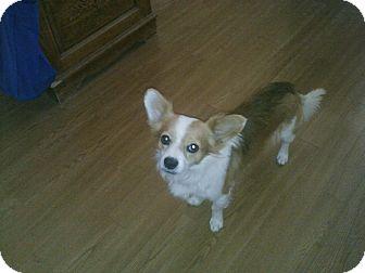Pembroke Welsh Corgi/Chihuahua Mix Dog for adoption in Lomita, California - Chu Chu