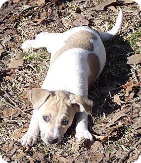 Terrier (Unknown Type, Medium)/Rat Terrier Mix Puppy for adoption in Cranford, New Jersey - CECILIA