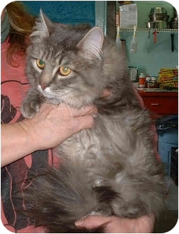 Domestic Longhair Cat for adoption in Honesdale, Pennsylvania - Kris Kisse Kat