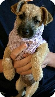 Terrier (Unknown Type, Small) Mix Puppy for adoption in Rancho Cucamonga, California - Miley