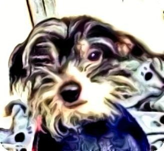 Chinese Crested Dog for adoption in Emmaus, Pennsylvania - Petie-PA