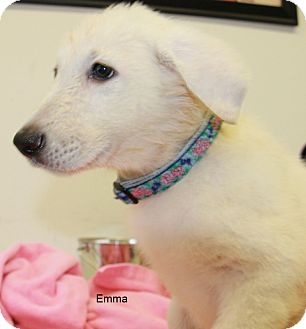 German Shepherd Dog Puppy for adoption in Hibbing, Minnesota - Emma