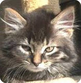 Maine Coon Kitten for adoption in Walworth, New York - Finnegan