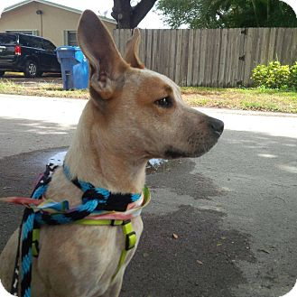 Catahoula Leopard Dog Mix Puppy for adoption in Ft. Lauderdale, Florida - Niles