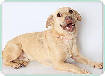 Labrador Retriever Mix Dog for adoption in Glendale, Arizona - Flash