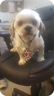 Shih Tzu Dog for adoption in Alamosa, Colorado - Perry