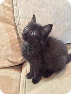 Domestic Mediumhair Kitten for adoption in Woodland, California - Tacos