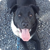 Adopt A Pet :: July - energetic young dog! - Kirkland, WA