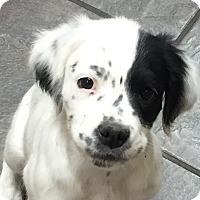 Adopt A Pet :: Petey - Urgent - Hagerstown, MD