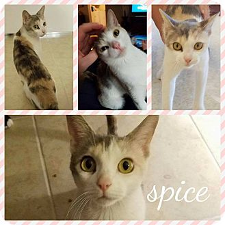 Calico Cat for adoption in Phoenix, Arizona - Spice