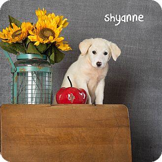 Labrador Retriever Mix Puppy for adoption in Plano, Texas - Shyanne