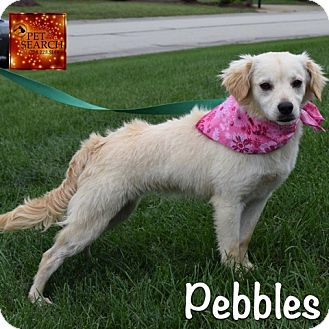 Labrador Retriever/Spaniel (Unknown Type) Mix Puppy for adoption in Washington, Pennsylvania - Pebbles