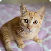 Domestic Shorthair Kitten for adoption in Atlanta, Georgia - Dizzle
