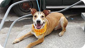 Husky/Labrador Retriever Mix Puppy for adoption in BONITA, California - Timmy