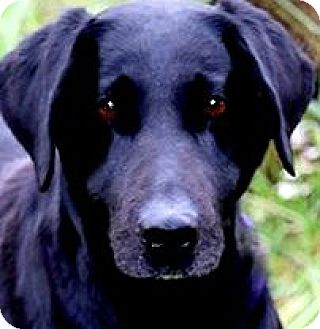 Labrador Retriever Dog for adoption in Wakefield, Rhode Island - MISS DESTIN(WHAT A SAD STORY!!