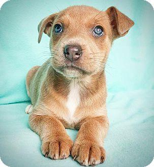 Shepherd (Unknown Type) Mix Puppy for adoption in Fredericksburg, Texas - Blair
